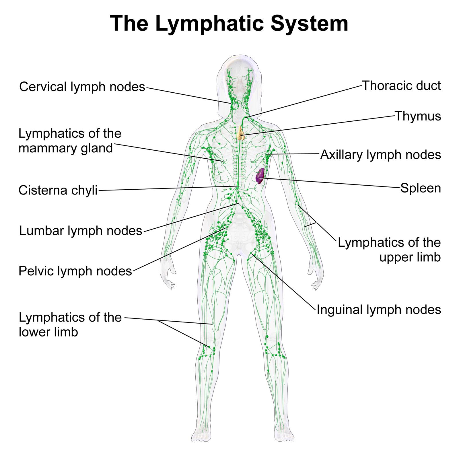 lymphatic system female